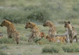 hyaenen